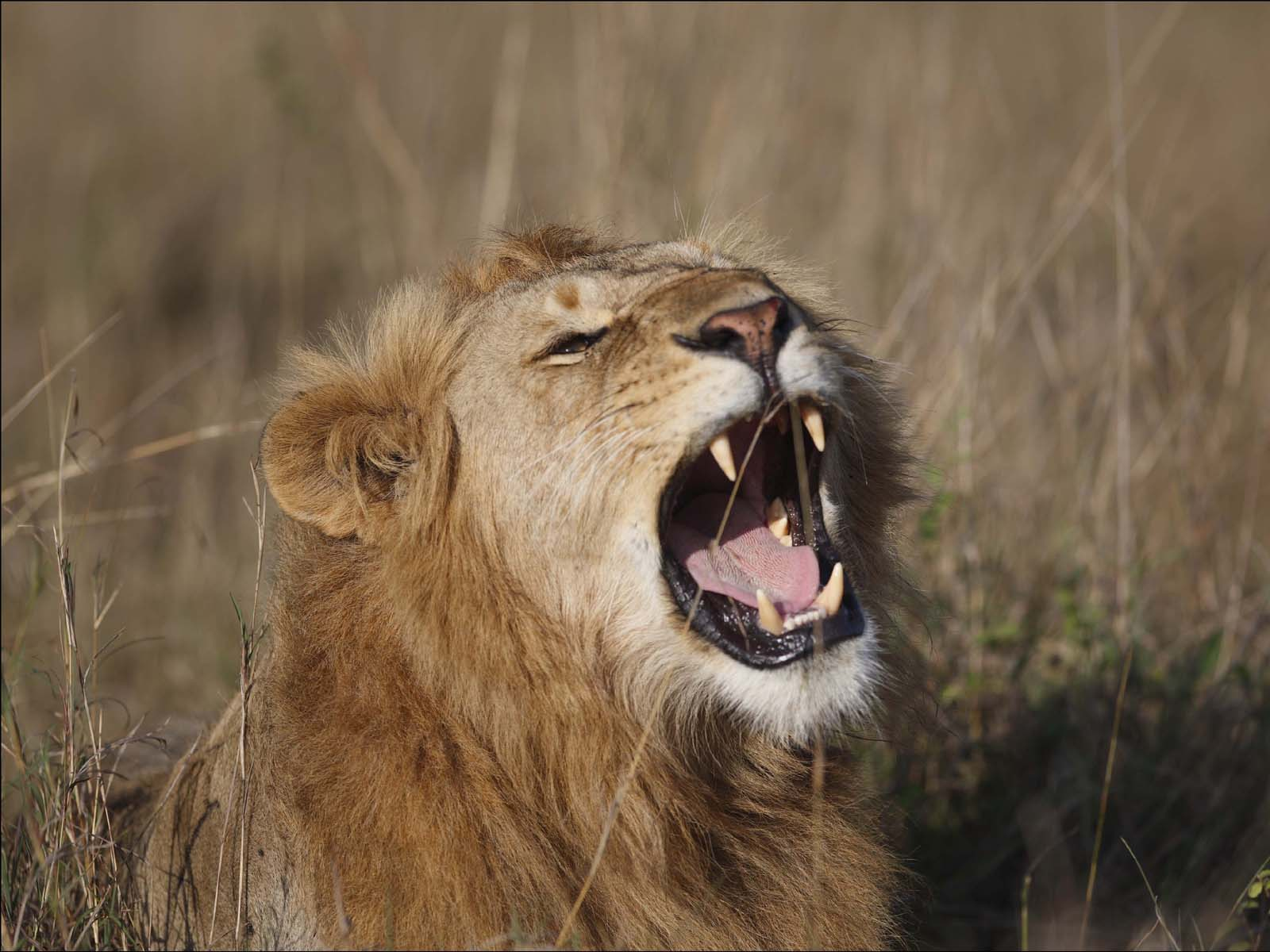 wallpapers: Lion Roaring Wallpapers - photo#21