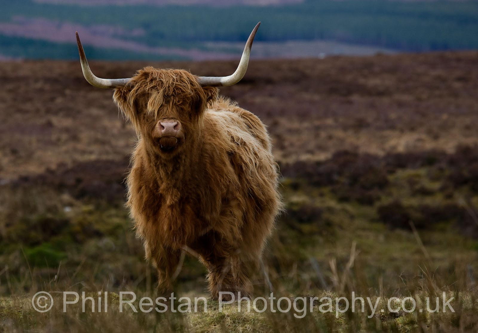 Photo of a Highland cow from Lairg in Sutherland, Scottish Highlands