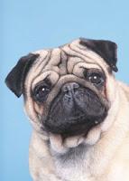 Σκύλος φυλής Παγκ