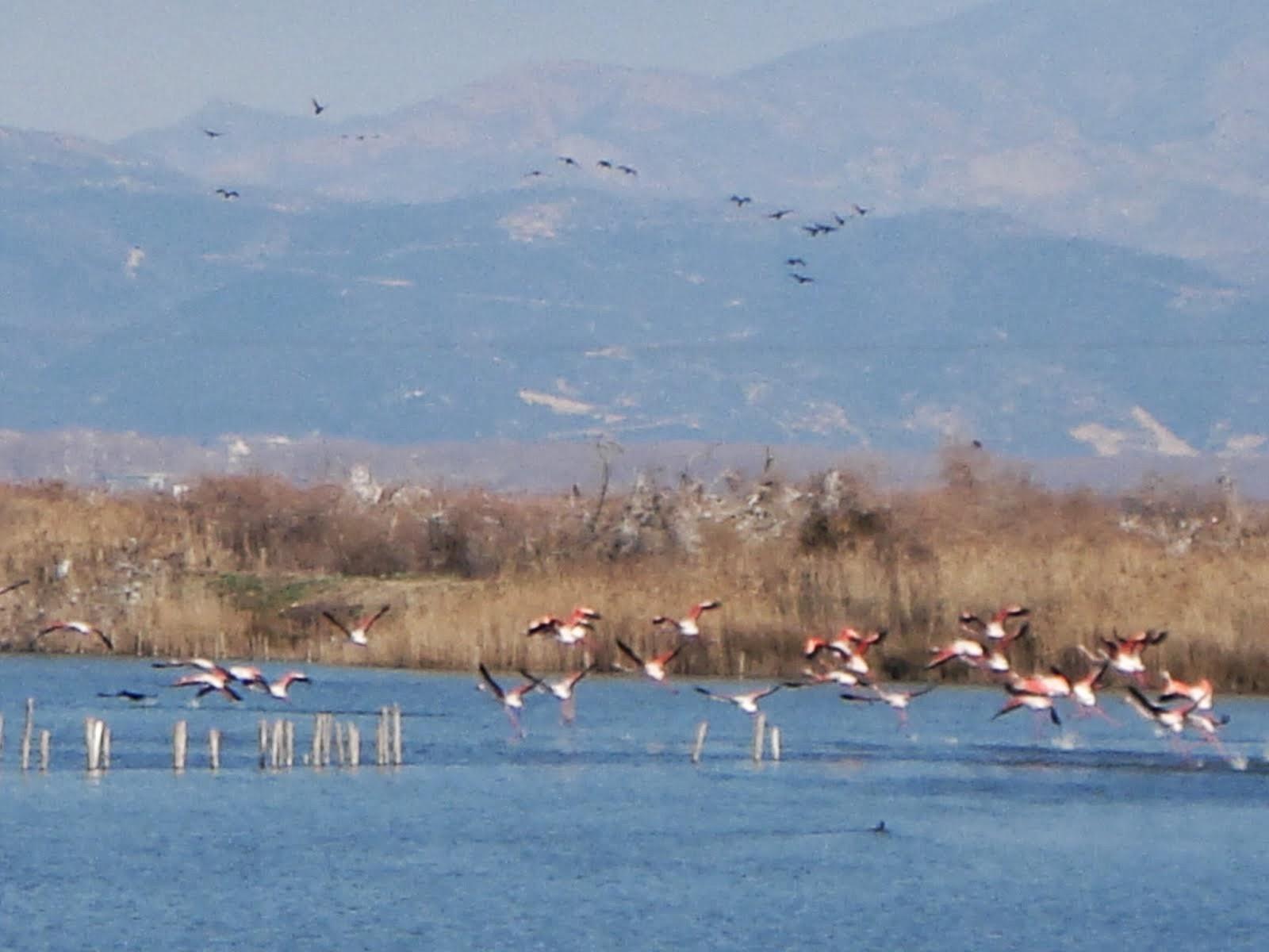 φοινικόπτερα...δίνουν το χρώμα κι αίσθηση κομψότητας στα λιμνάζοντα νερά...