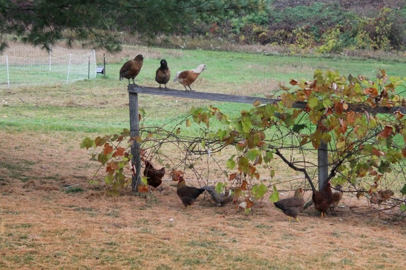 pullets on the grapevine support