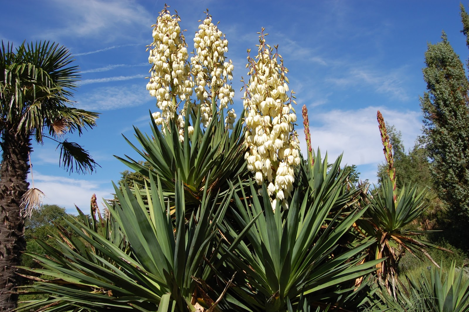 what is a yucca plant the garden of eaden