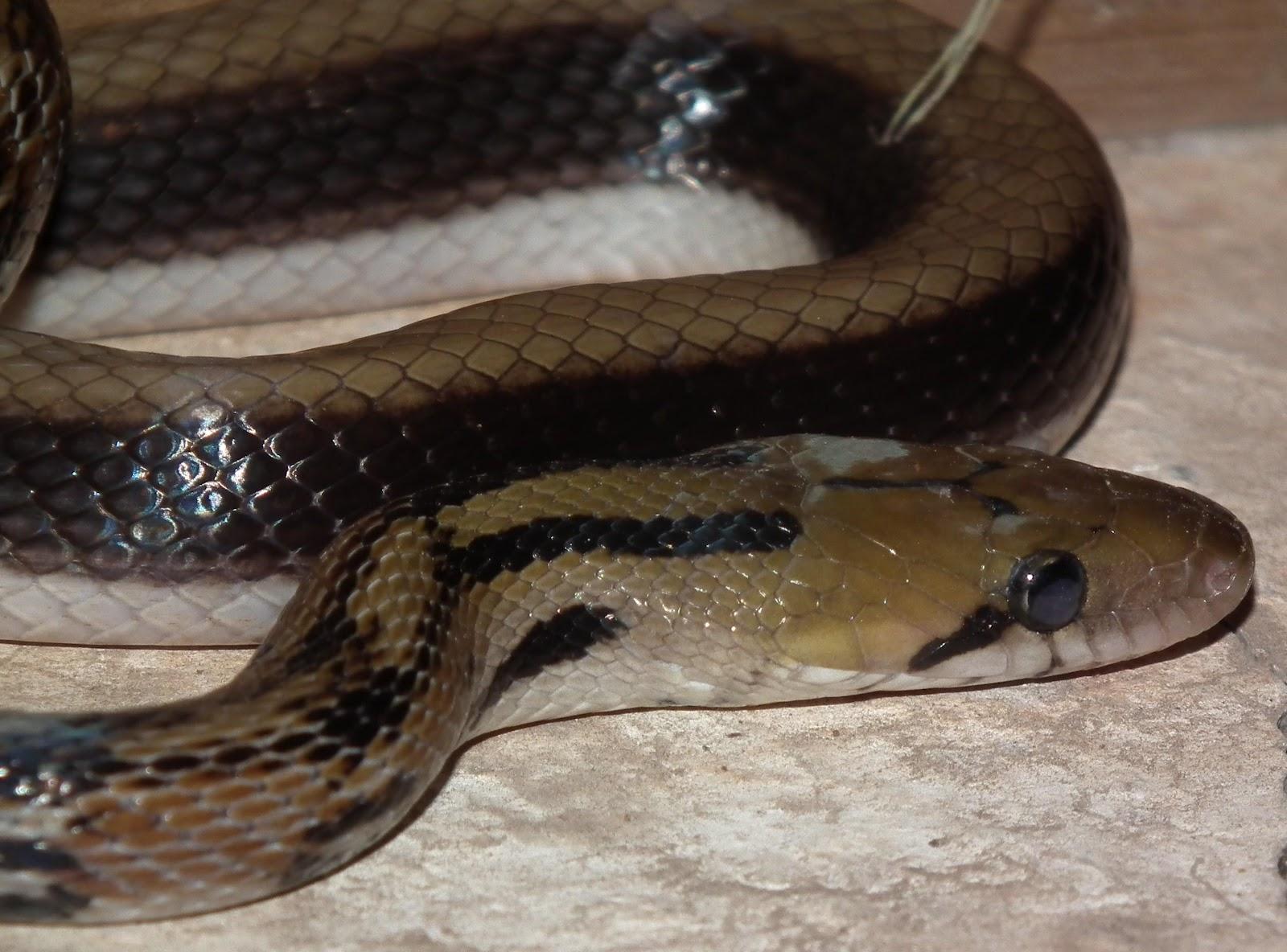 Yagnesh Chawda: A snake Friend in the Society... Montane Trinket ...