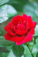 fotografie trandafir