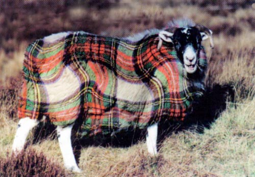 Image result for tartan sheep