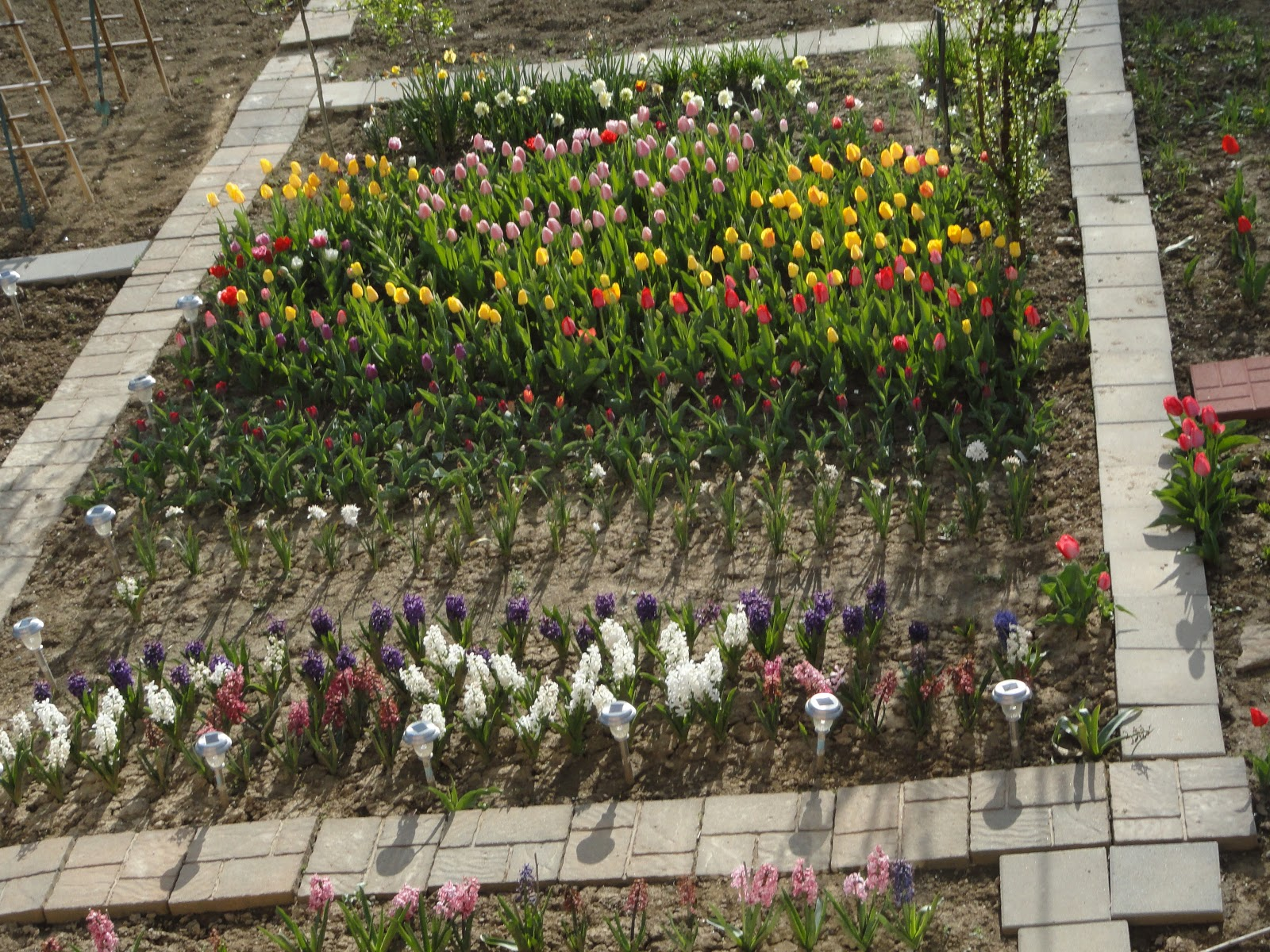 "Dr. Tsai\'s blog: Our tulips ""put on carmine suit!"""