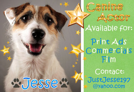 Jesse the Jack Russell Terrier