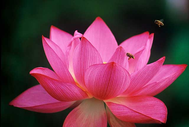 Red Lotus Flower Flower Hd Wallpapers Images Pictures