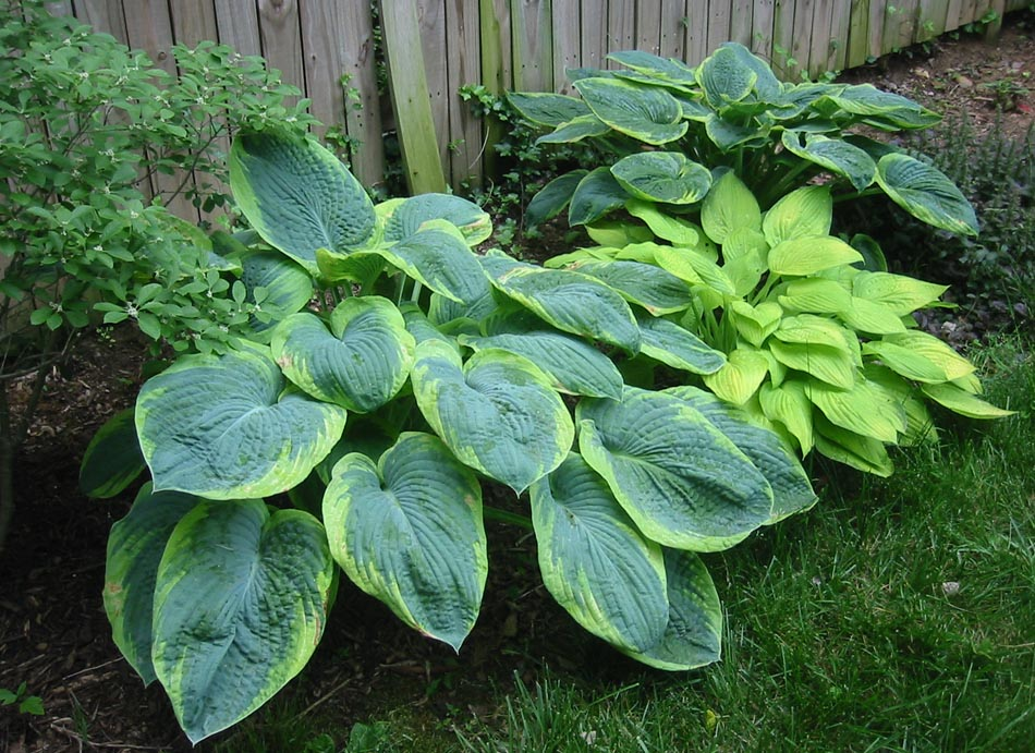 blue giant hosta - photo #14
