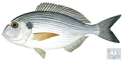 The Gilt Head Bream Illustration from the What Fish UK App.