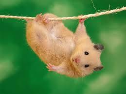cuddly hamster