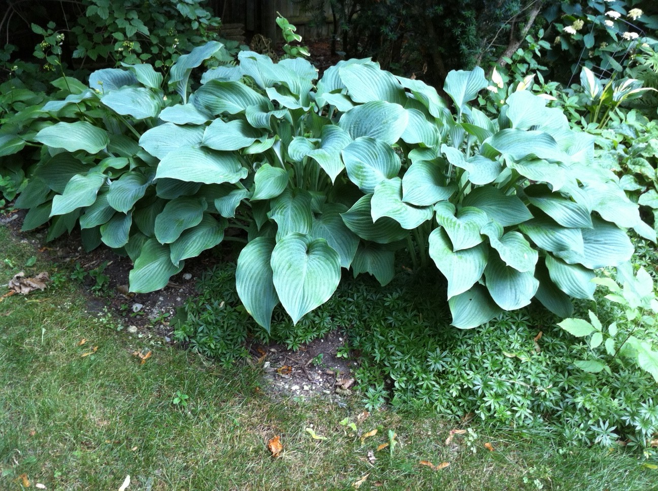 blue giant hosta - photo #24