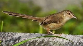 Nama jenis burung prenjak yang populer