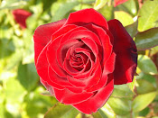 Portland Rose