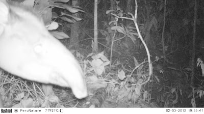 peru rainforest camera trap
