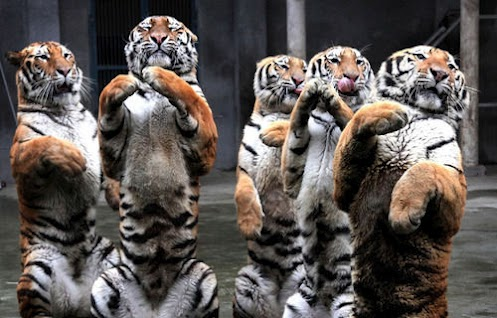 tigers+asian+tigers+big+cats+beautiful+babies+of+dangerous+animal+atatacks+news+zoo+animals+endangered+species+picture.jpg