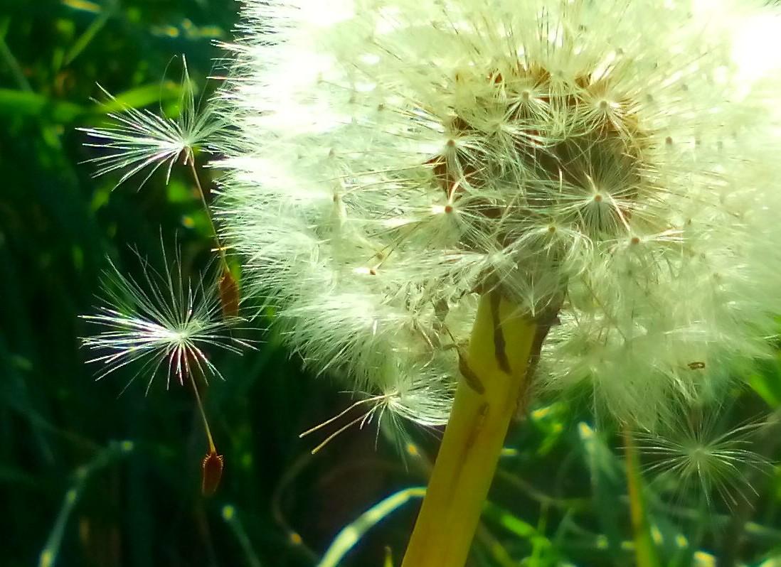 contemporary dandelion head floral - photo #22
