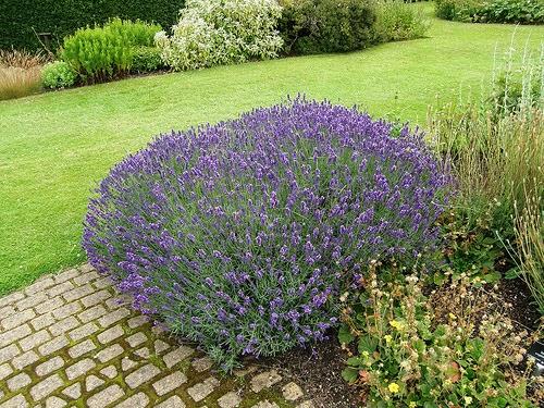 Jardineria plantas aromaticas lavanda for Jardinera plantas aromaticas