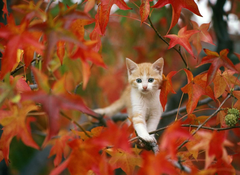 http://4.bp.blogspot.com/-KBysu8l3gaM/Ud1_o-xR5EI/AAAAAAAABc4/jHdofOx-79A/s1600/call-the-fireman-kitty-stuck-out-on-a-limb-among-red-leaves-.jpg