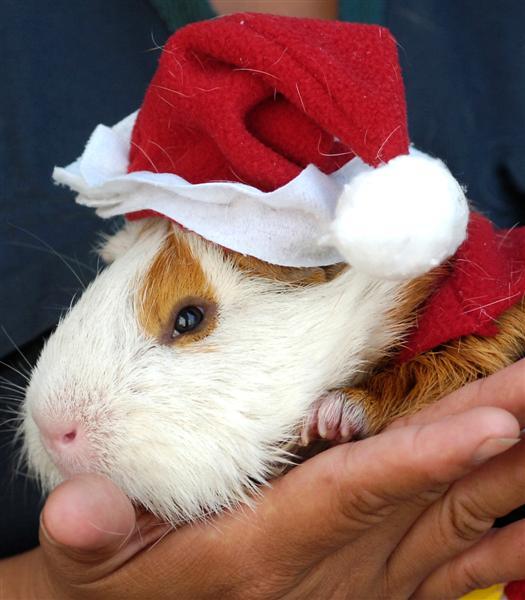 guinea pig dressed as santa claus