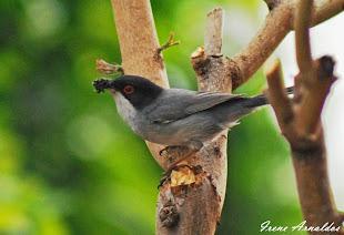 Macho de Curruca cabecinegra (Sylvia melanocephala)