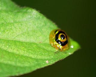 Larva Hewan Paling Unik di Dunia