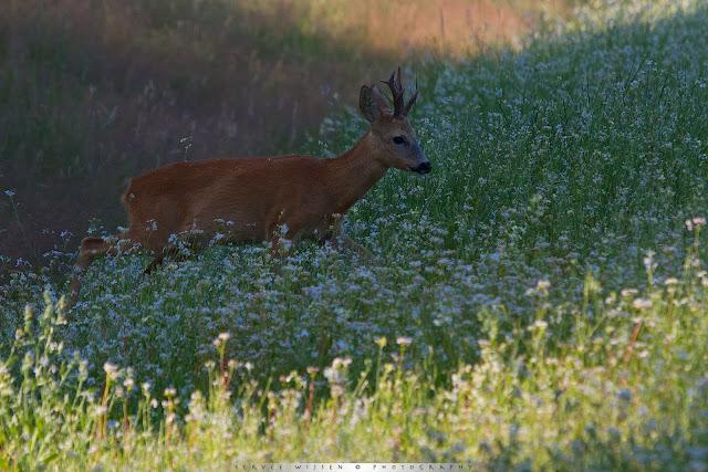 Ree in Wilde Radijs - Roe Deer entering Wild Radish field - Capreolus capreolus