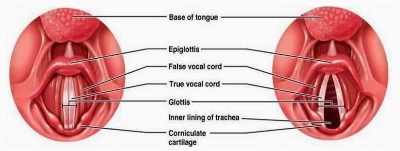 Anatomi dan Fisiologi Mulut, Faring dan Laring
