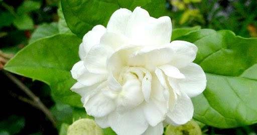 mogra flower with green leaf