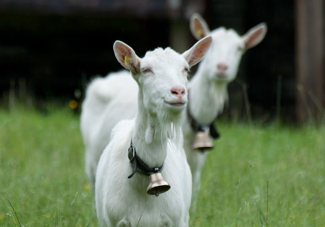 smiling goat, funny animal pictures of the week