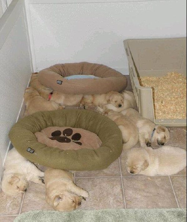 cute sleeping puppies, no bed needed