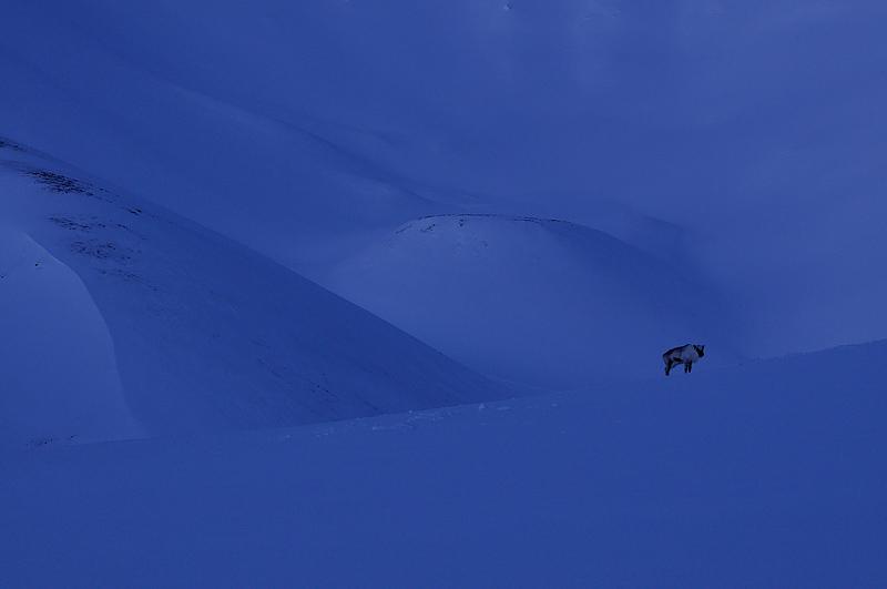 Svalbard reindeer, Teravmägede põhjapõder, Rangifer tarandus platyrhynchus
