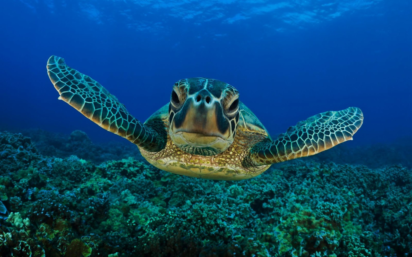 swimming turtle underwater picture hd animals wallpapers