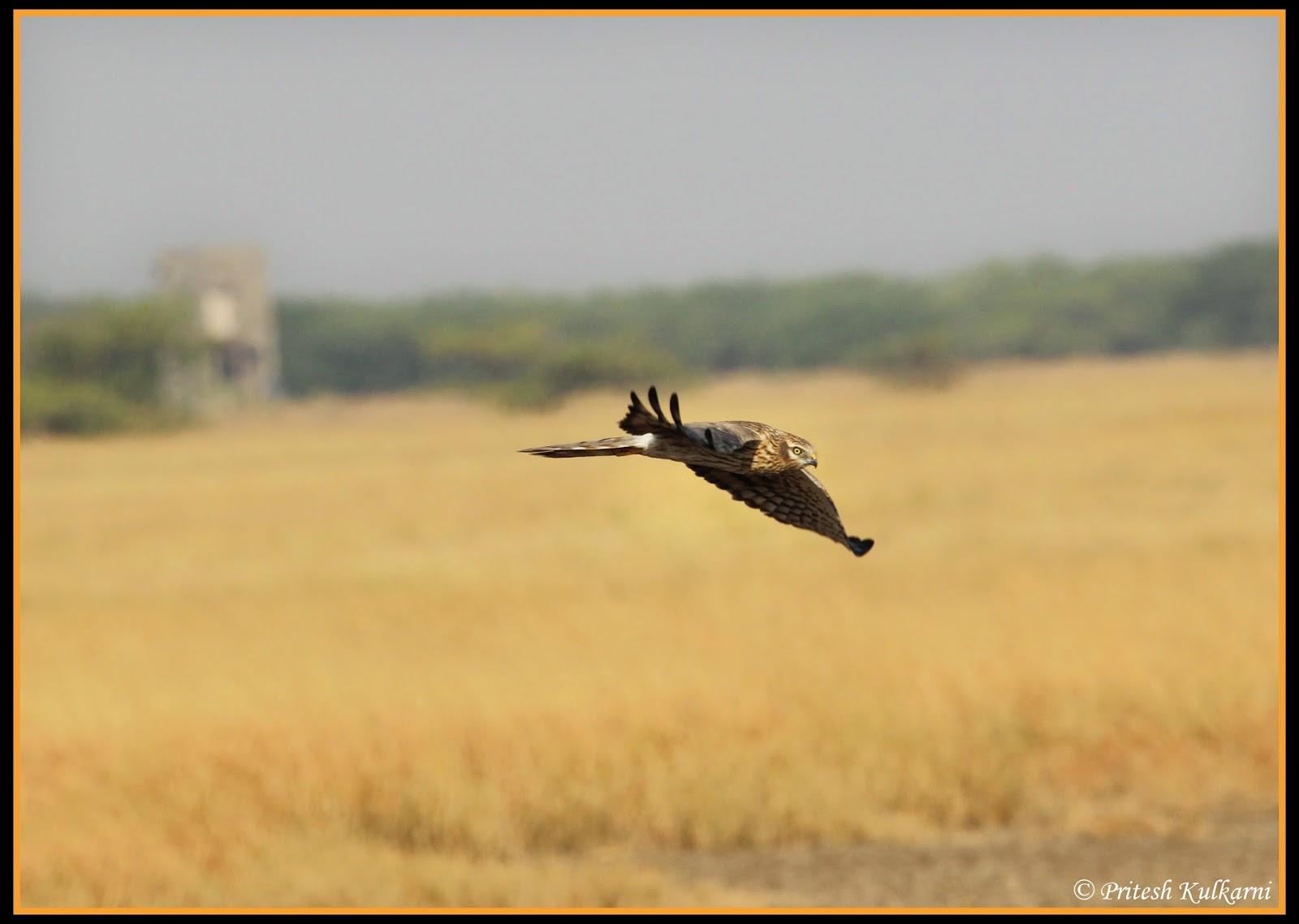 Pallied Harrier