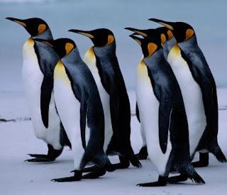 Pingüino caminando