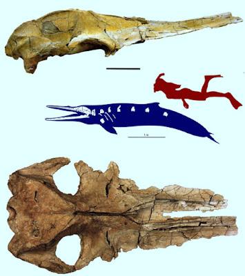 Herpetocetus skull