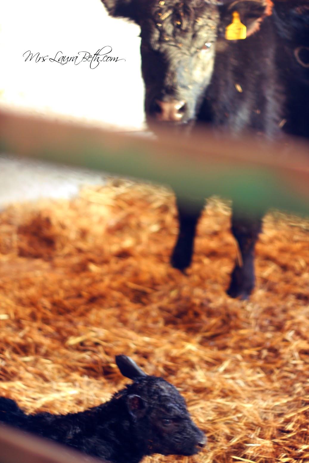 Angus, Farm, Cattle