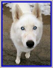 adoptable husky