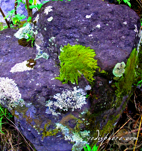 Colorful formations of wild lichens on a rock