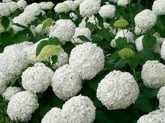 Il giardino sfumato matrimonio bianco lilla for Ortensie bianche