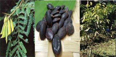 pelangsing biji kedawung, ramuan pelangsing, ramuan pelangsing dari jawa, ramuan pelangsing tradisional,