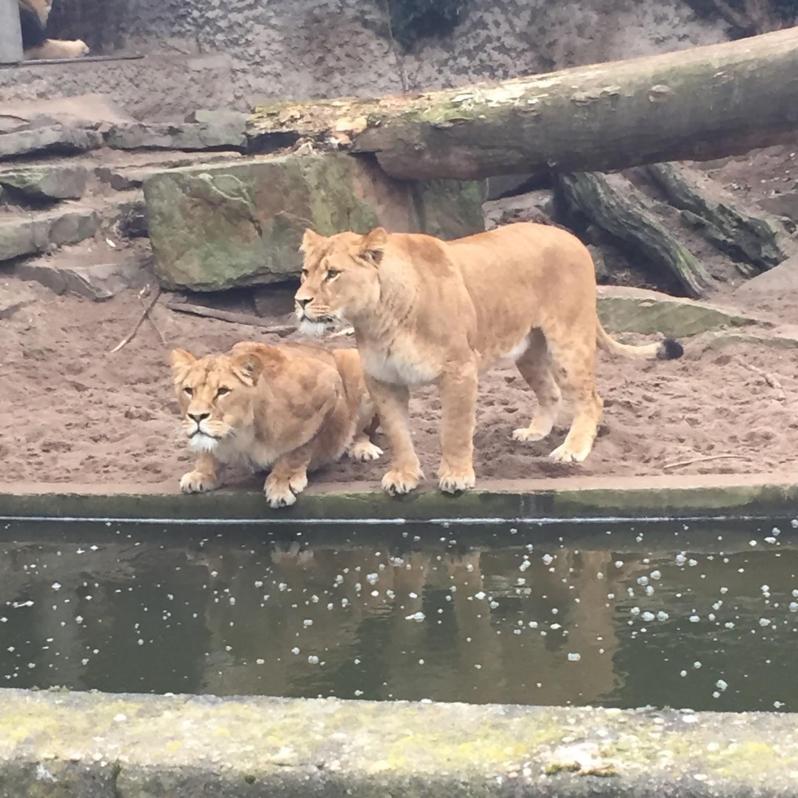 Lions, Artis Zoo Amsterdam