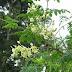 Dahsyatnya Kelor (Moringa oleifera)