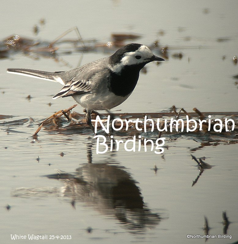 Northumbrian Birding