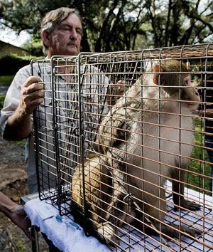 gambar monyet liar ditangkap