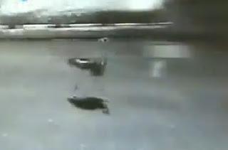 avestruz se mete a una pista en china