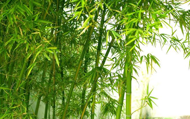 Bamboo Nature9