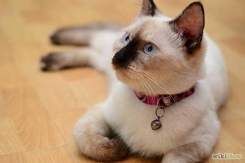 Une Photo chat siamois croisé