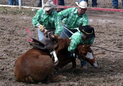 mustang obligado brutalmente a tumbarse en la arena del rodeo