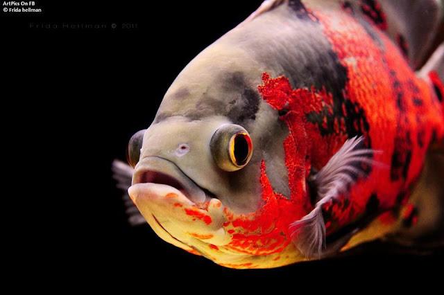 Frida Hellman fish photography